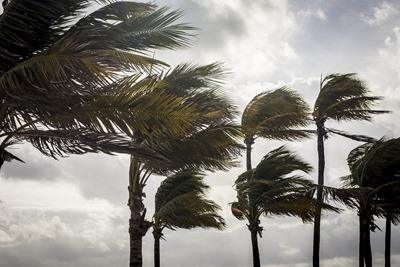 Palm Trees Before A Tropical Storm or Hurricane